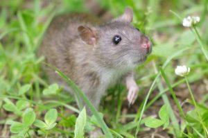 ft worth rat