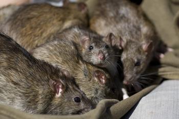 Rat Exterminator Ft Worth