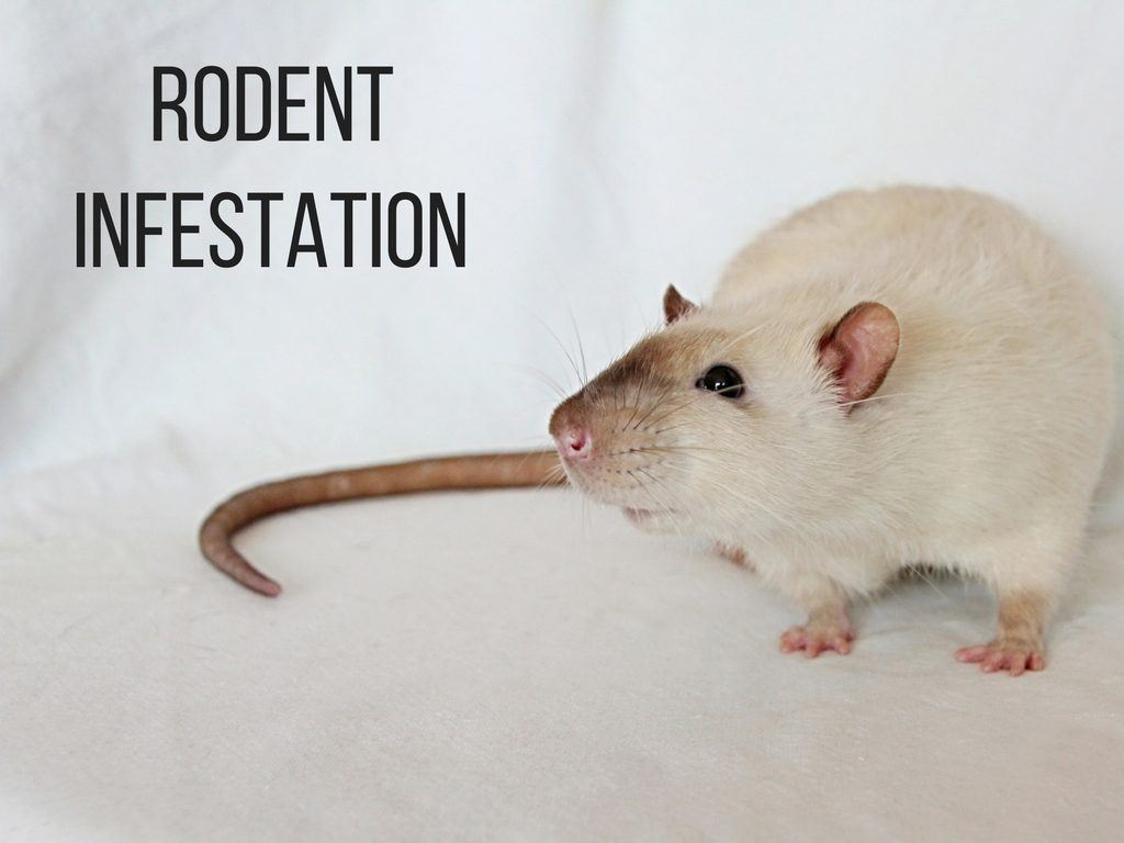 Rodent Infestation removal by Critter Control of Ft Worth