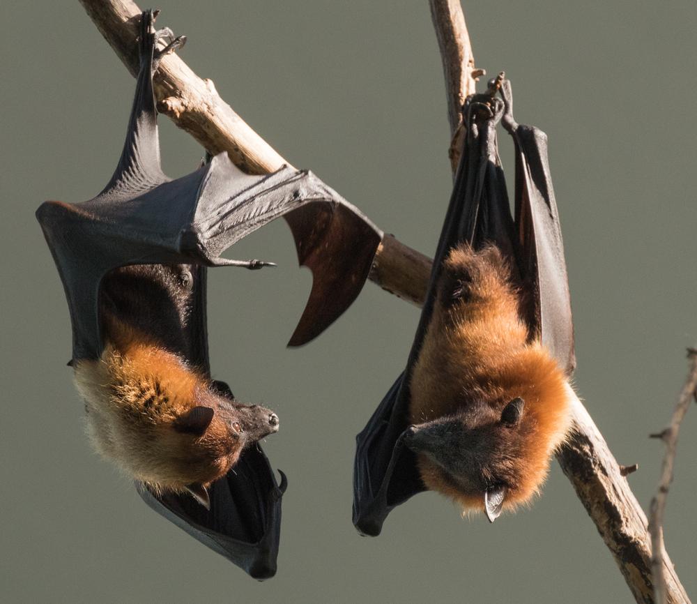 Bat Extermination