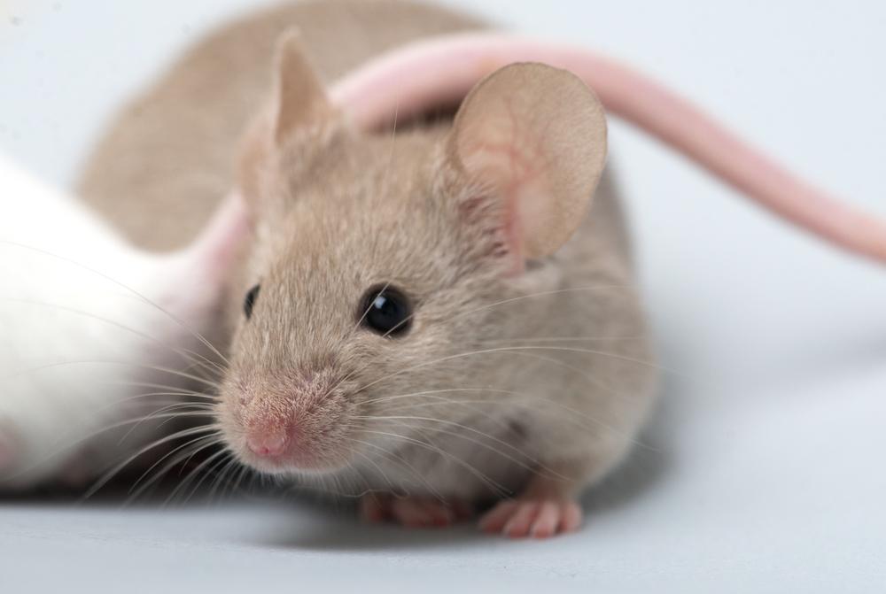 Ft. Worth Mice