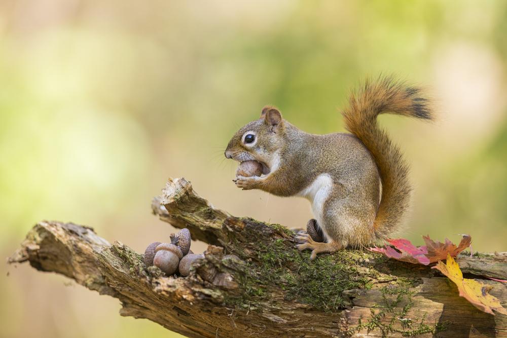Ft Worth Squirrel