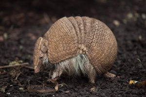 Types of Armadillos found in Texas