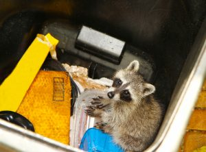 Does Clutter Attract Raccoons?