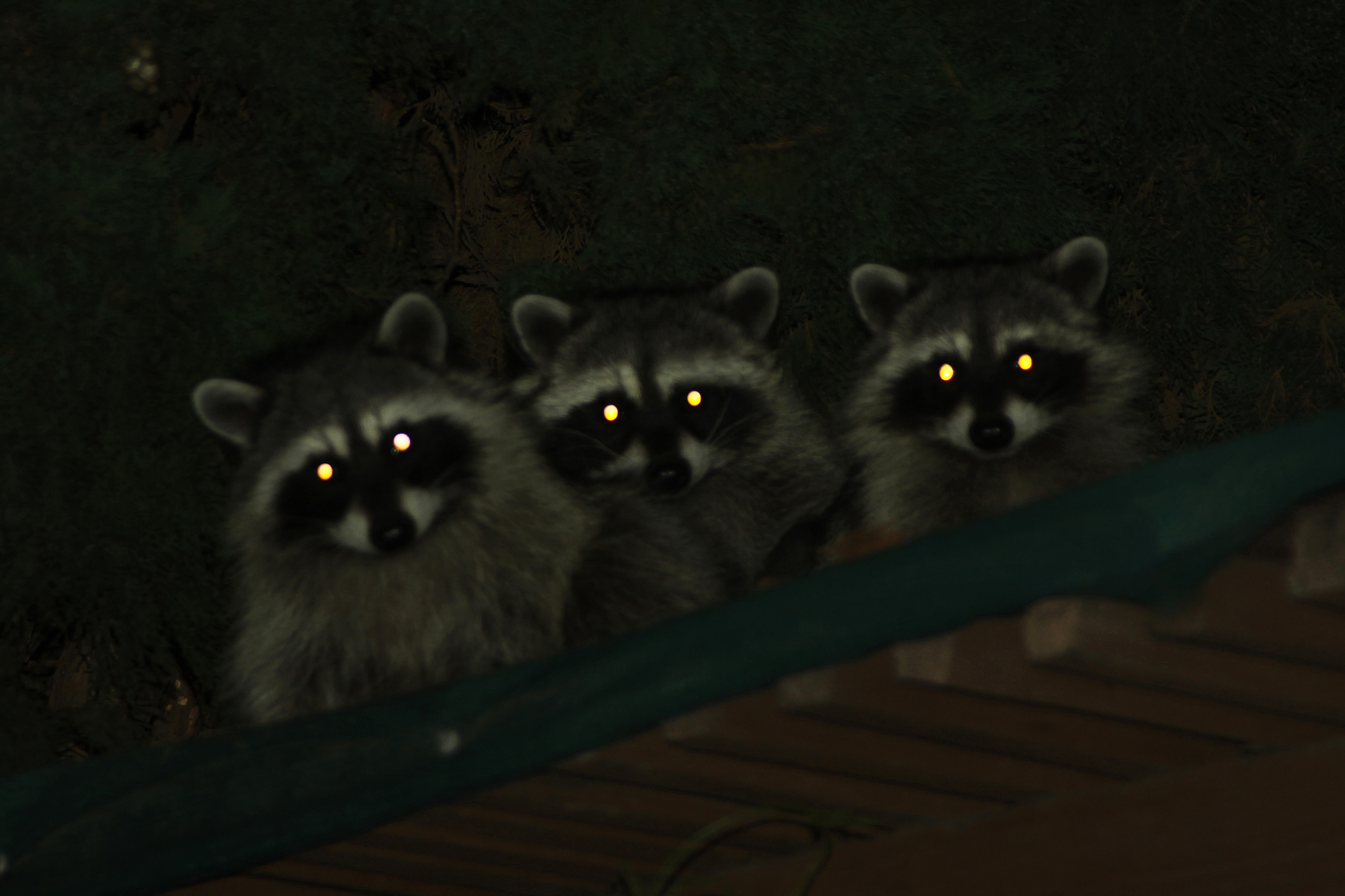How to Get Rid of Raccoons in the Garage