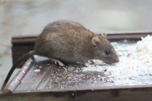 The Dangers of Rats in Your Attic