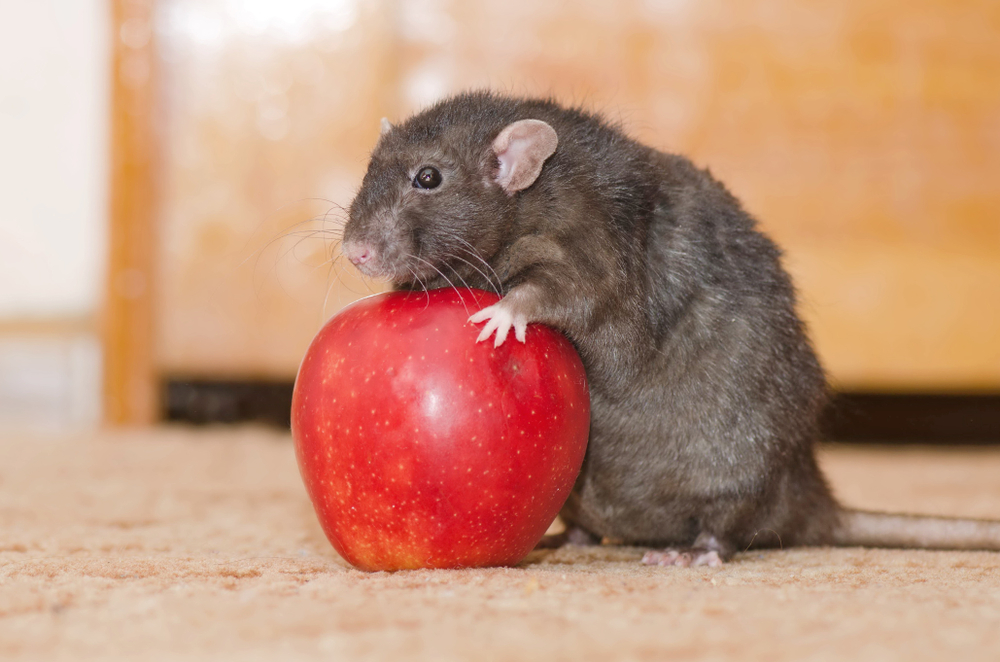 Fast Ways To Get Rid of Rats
